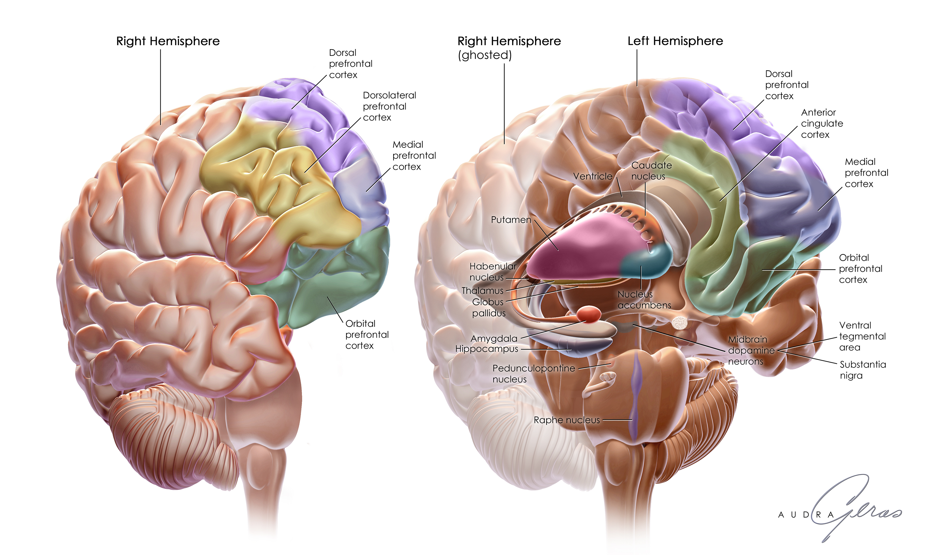 Anatomy of the Brain - Geras Healthcare Productions